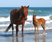 See the Wild Horses - Corolla Wild Horse Museum