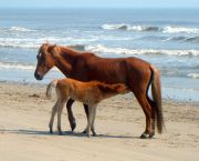 Family Adventure — Morning Horse Tours - Corolla Wild Horse Tours