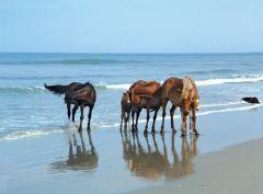 Corolla wild horses by the ocean