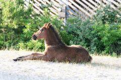 Corolla wild horse