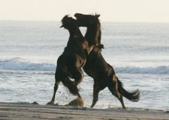 Wild Corolla horses playing in the ocean