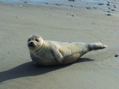 Seal sighting in Corolla, NC