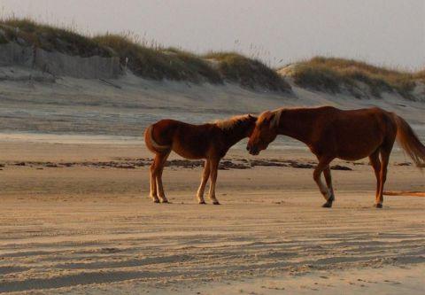 Bob's Corolla Wild Horse Tours, Explore Wild Horse History & Habitat