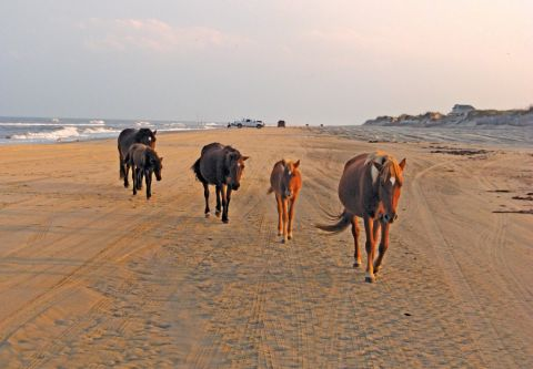 Back Beach Wild Horse Tours Corolla NC, See Legendary Wild Horses