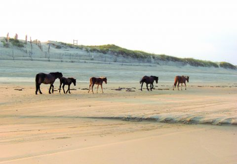 Back Beach Wild Horse Tours Corolla NC, Open Air Safari Evening Tours
