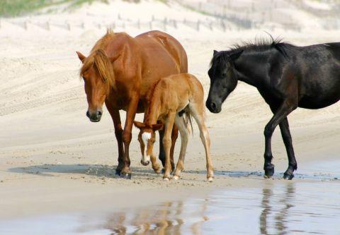 Back Beach Wild Horse Tours Corolla NC, Open Air Safari Morning Tours