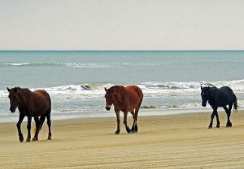 Currituck County Department of Travel & Tourism, Wild Horse Tours