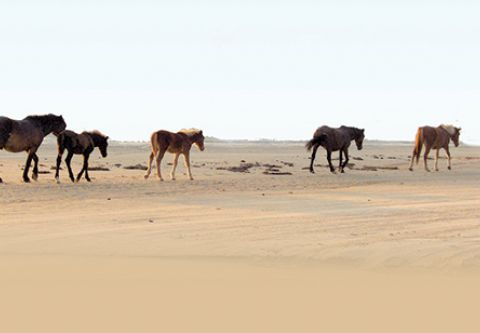 Corolla Wild Horse Tours, Adventure for the Whole Family